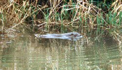 Resident otter on the Bude Canal
